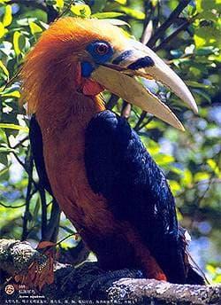 Непальский калао (Aceros nipalensis), фото фотография с http://www.7c.gov.cn/color/contentimage/8639/169.jpg