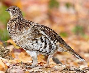 Воротничковый рябчик, рябчик воротничковый (Bonasa umbellus), фото фотография