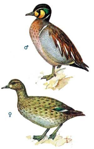 Клоктун, чирок-клоктун (Anas formosa), рисунок картинка изображение, птицы утки