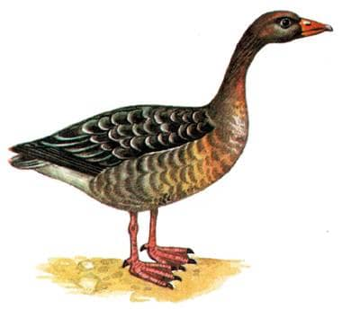 серый гусь, гусь серый (Anser anser), рисунок картинка, гуси птицы