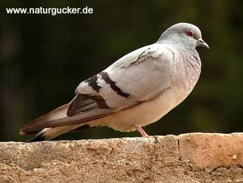 Скалистый голубь (Columba rupestris) голубь скалистый, фото фотография, голуби птицы