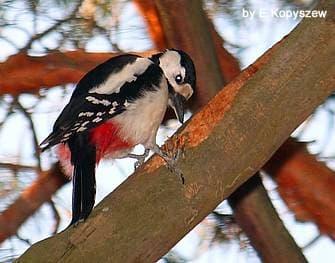 Большой пестрый дятел (Dendrocopos major), фото фотография, птицы