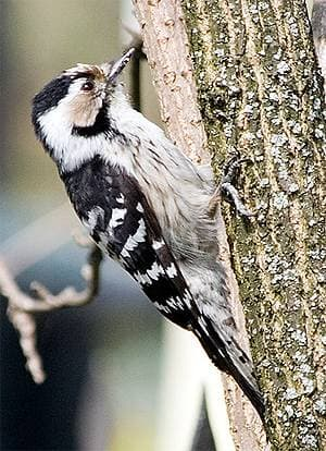 Малый пестрый дятел, пестрый малый дятел (Dendrocopos minor), фото фотография, птицы