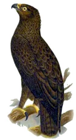 Малый подорлик (Aquila pomarina) подорлик малый, рисунок картинка, хищные птицы