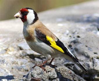 Обыкновенный щегол, черноголовый щегол (Carduelis carduelis), фото фотография, вьюрковые птицы