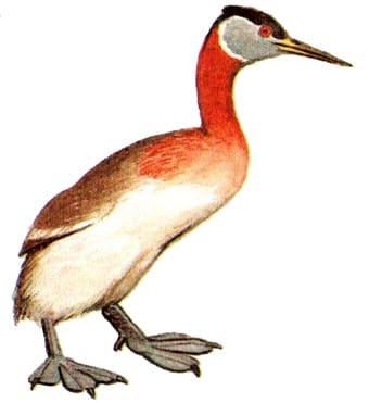 Серощекая поганка (Podiceps grisegena) поганка серощекая, рисунок картинка птицы