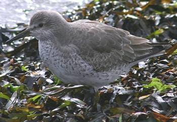 Исландский песочник (Calidris canutus) песочник исландский, фото фотография, бекасовые птицы