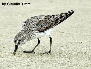 Бонапартов песочник (Calidris fuscicollis), фото фотография, бекасовые птицы