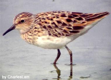 Длиннопалый песочник (Calidris subminuta) песочник длиннопалый, фото фотография, бекасовые птицы