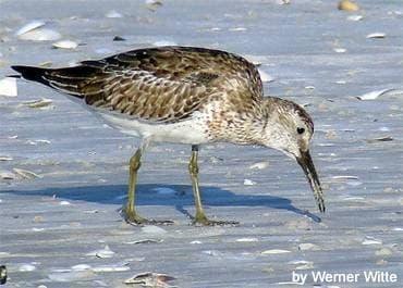 Большой песочник (Calidris tenuirostris) песочник большой, фото фотография, бекасовые птицы