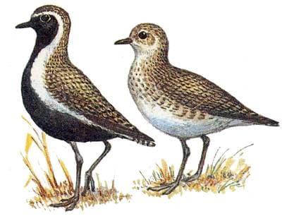 Ржанка золотистая (Charadrius apricarius) золотистая ржанка, рисунок картинка, ржанки птицы