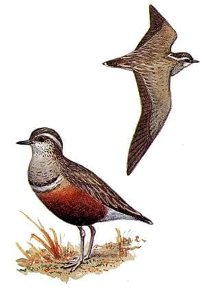 Хрустан (Charadrius morinellus), рисунок картинка, ржанки птицы