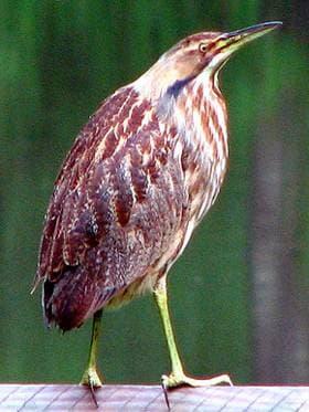 Американская выпь (Botaurus lentiginosus), фото фотография, голенастые птицы