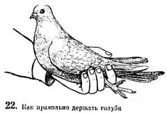 Рис 22. Как правильно держать голубя