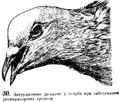 Рис 30. Затрудненное дыхание у голубя при заболевании респираторных органов