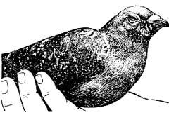 Рис 31. Начальная стадия орнитоза (конъюнктивит)