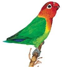 Неразлучник Фишера (Agapornis fischeri)