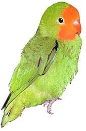 оранжевоголовый неразлучник, краснолицый неразлучник, травянисто зеленый неразлучник (Agapornis pullaria, Agapornis pullarius)