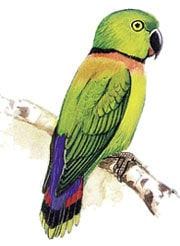 либерийский неразлучник, зеленоголовый неразлучник, ожереловый неразлучник (Agapornis swinderniana)