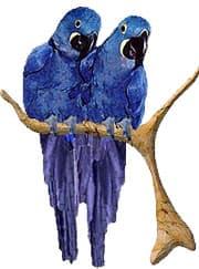 большой гиацинтовый ара (Anodorhynchus hyacinthinus)
