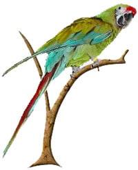 большой солдатский ара, большой зеленый ара, зеленый ара (Ara ambigua)