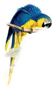 сине желтый ара, араруна (Ara ararauna)