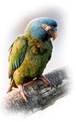 горный ара, ара горный, синеголовый ара (Ara couloni, Propyrrhura couloni)