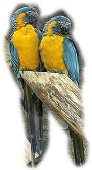 синегорлый ара, ара синегорлый (Ara glaucogularis, Ara caninde)