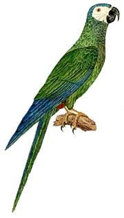 краснобрюхий ара (Ara manilata, Orthopsittaca manilata)
