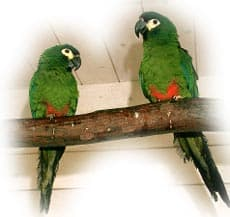 красноспинный ара, ара Иллигера (Ara maracana, Propyrrhura maracana)
