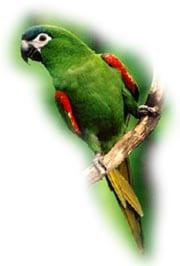 малый синелобый ара, карликовый ара (Ara nobilis, Diopsittaca nobilis)