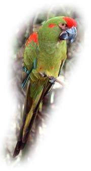 красноухий ара (Ara rubrogenys)