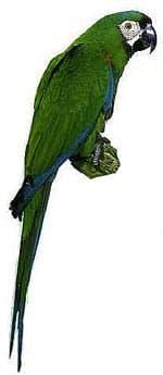 каштановолобый ара, каштановый ара (Ara severa)