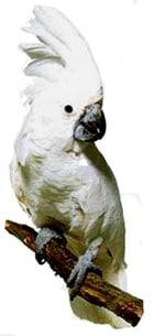 белый какаду, какаду белый, белый какаду Альба (Cacatua alba)
