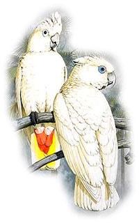 соломонский какаду, какаду соломонский (Cacatua ducorpsii)