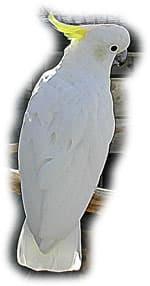 Какаду Элеоноры, какаду Финча (Cacatua galerita Eleonora)