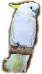 новогвинейский большой желтохохлый какаду, тритон (Cacatua galerita triton)