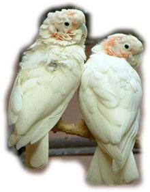 какаду Гоффина, танимбарский какаду (Cacatua goffini)
