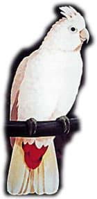 филиппинский какаду, какаду филлипинский, краснохвостый какаду (Cacatua haematuropygia)