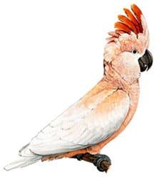 молуккский какаду, краснохохлый какаду, розовохохлый какаду (Cacatua moluccensis)