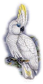 очковый какаду, какаду очковый (Cacatua ophthalmica)