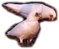 тонкоклювый какаду, какаду тонкоклювый (Cacatua pastinator)