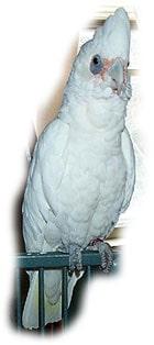 гологлазый какаду (Cacatua sanguinea)