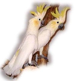 малый желтохохлый какаду, желтощекий какаду (Cacatua sulphurea)