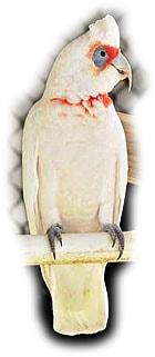 носатый какаду, какаду носатый, длинноклювый какаду (Cacatua tenuirostris)
