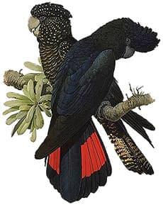 черный краснохвостый какаду, юго-восточный краснохвостый какаду, черный рыжехвостый какаду, траурный какаду Бэнкса (Calyptorhynchus banksii, Calyptorhynchus magnificus)