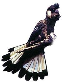 белоухий черный какаду, белоухий траурный какаду (Calyptorhynchus baudinii)