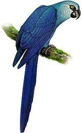 ара Спикса, голубой ара (Cyanopsitta spixii), картинка птицы попугаи изображение