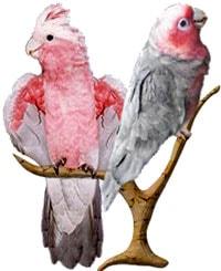 розовый какаду, какаду розовый, гала (Eolophus roseicapillus)