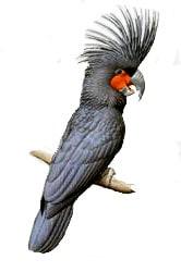 черный какаду, какаду черный, аравидный какаду, пальмовый какаду (Probosciger aterrimus)